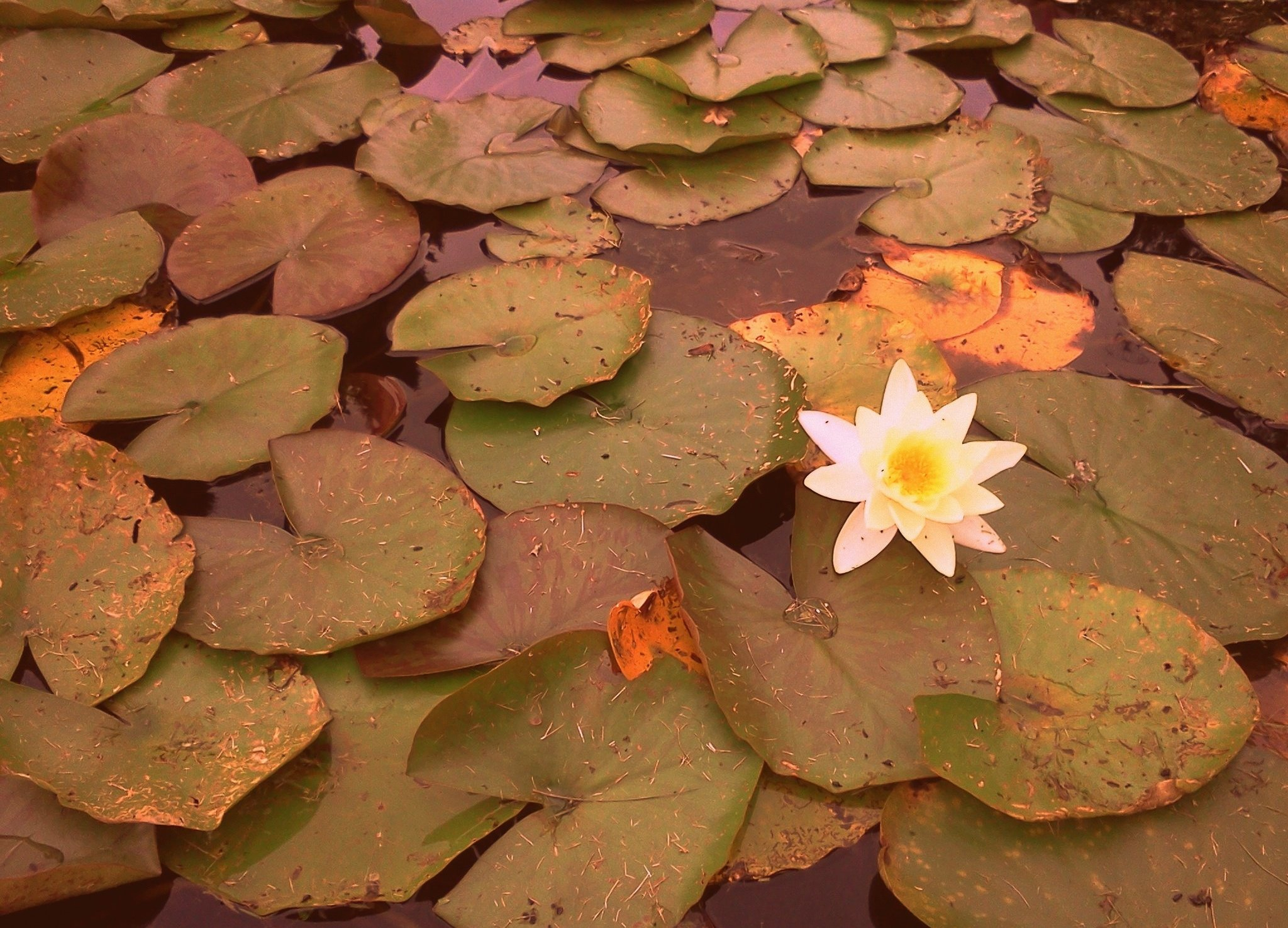 Images Of Water Lily