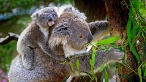 Koala 4k