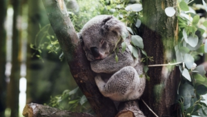 Koala Computer Backgrounds