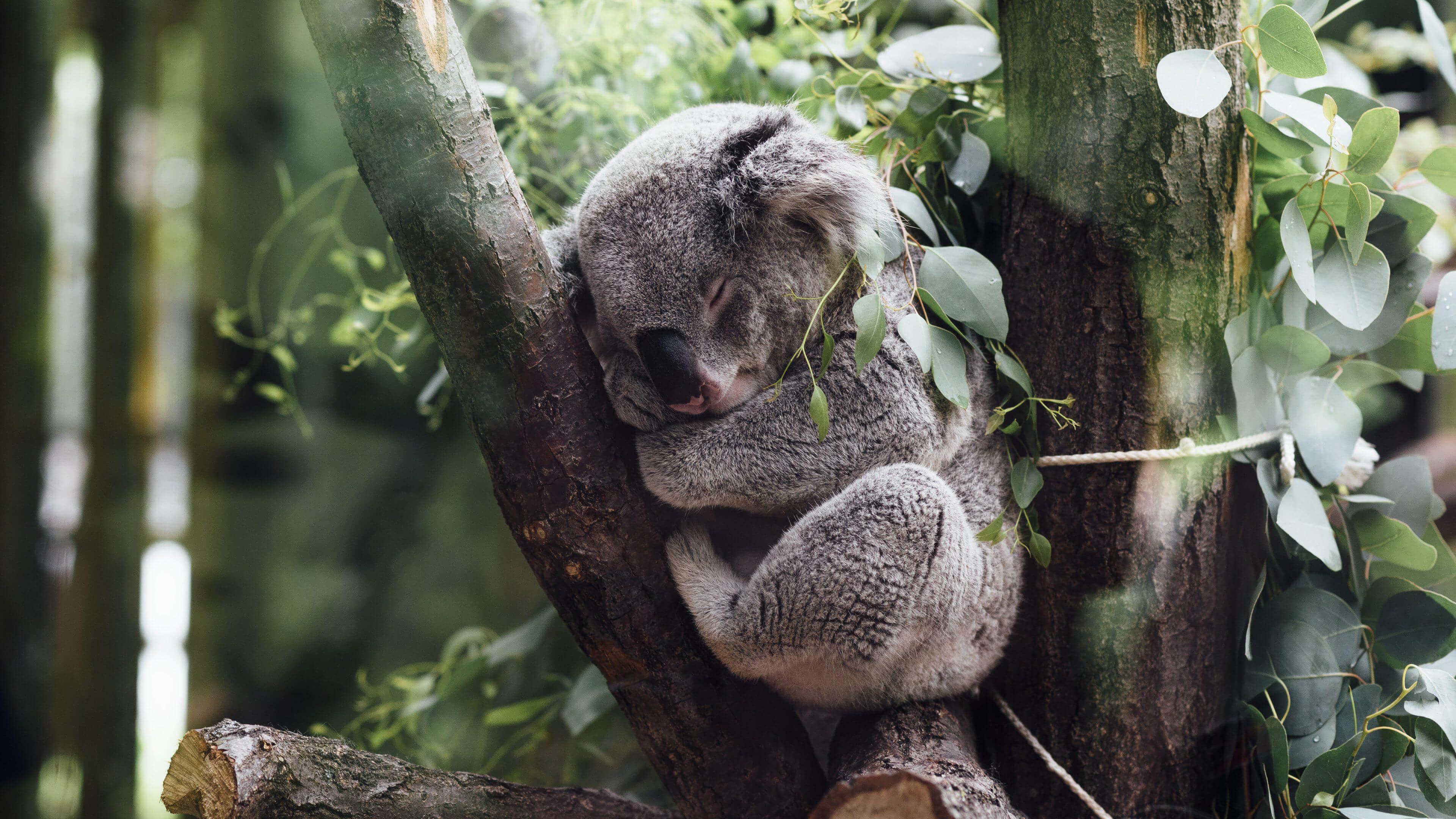 Koala Computer Backgrounds