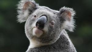 Koala Desktop Images