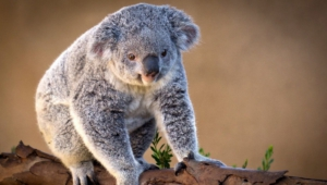 Koala Free Download