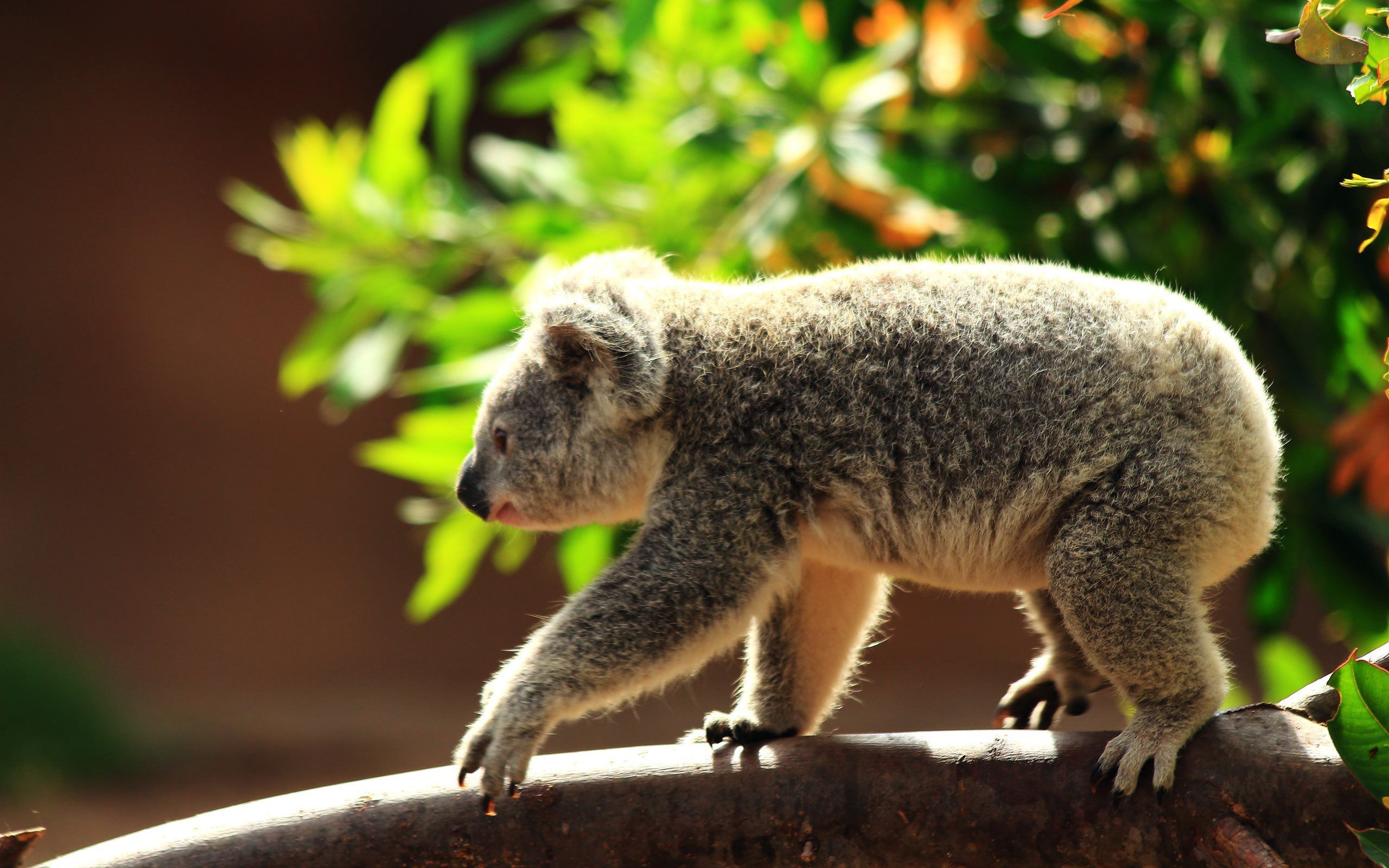 Koala Free Hd Wallpapers