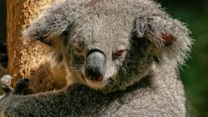 Koala Hd