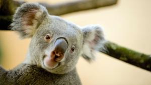 Koala Hd Desktop