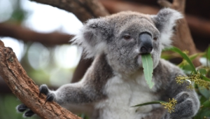 Koala Hd Wallpaper