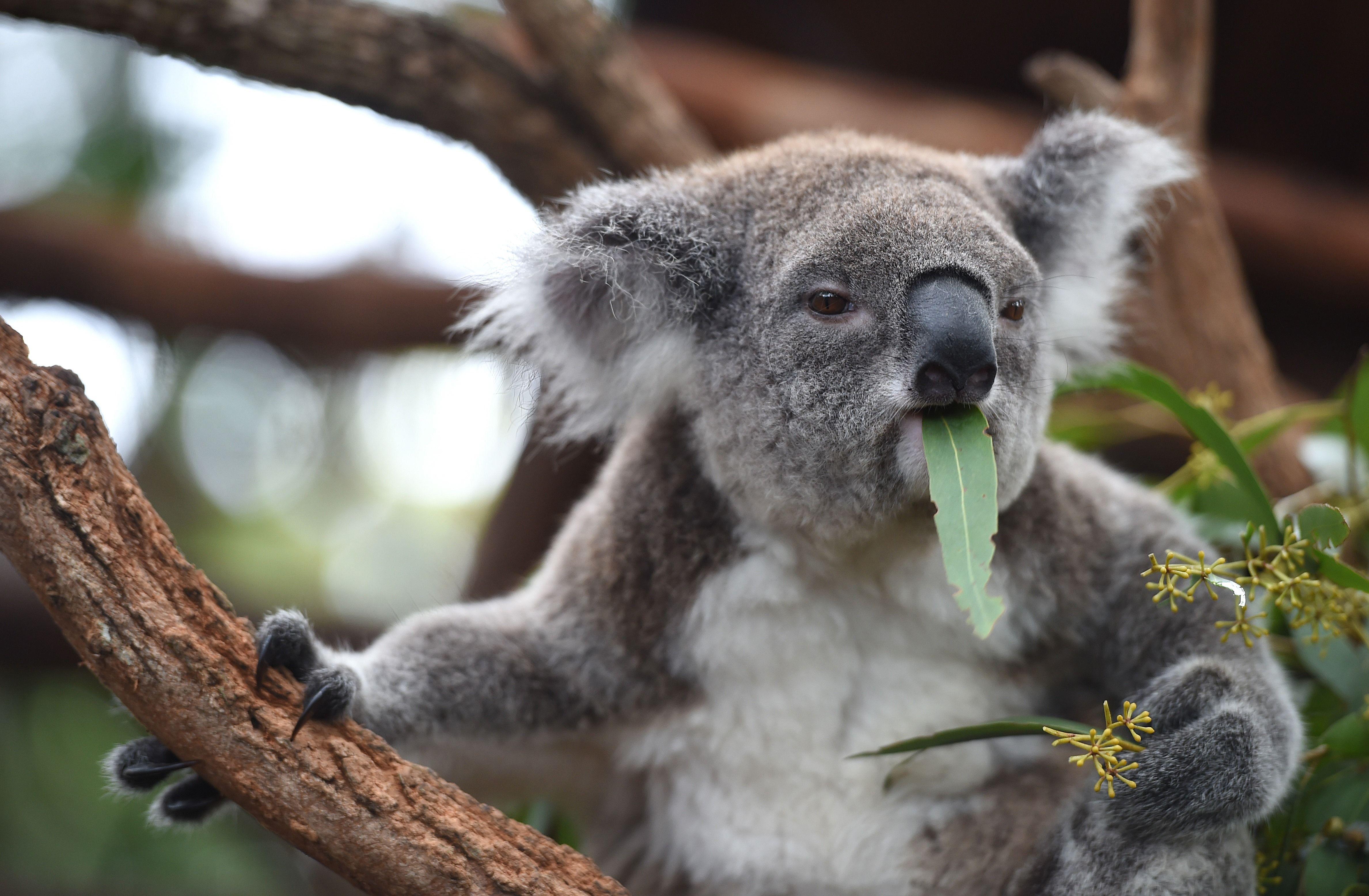 Koala Hd Wallpaper