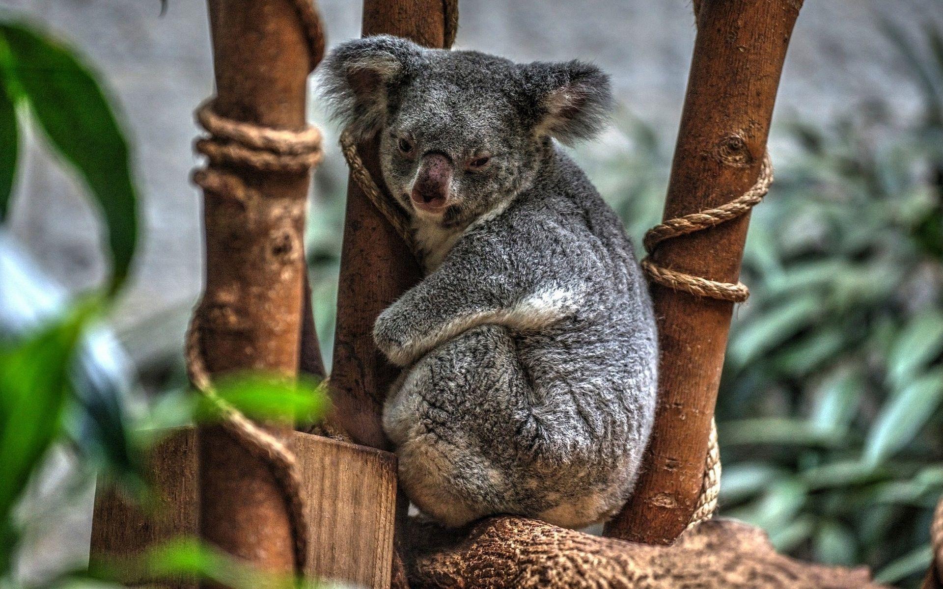 Koala High Definition Wallpapers