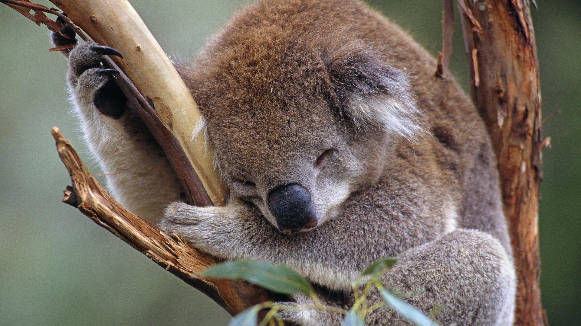 Koala High Definition