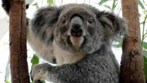 Koala High Quality Wallpapers