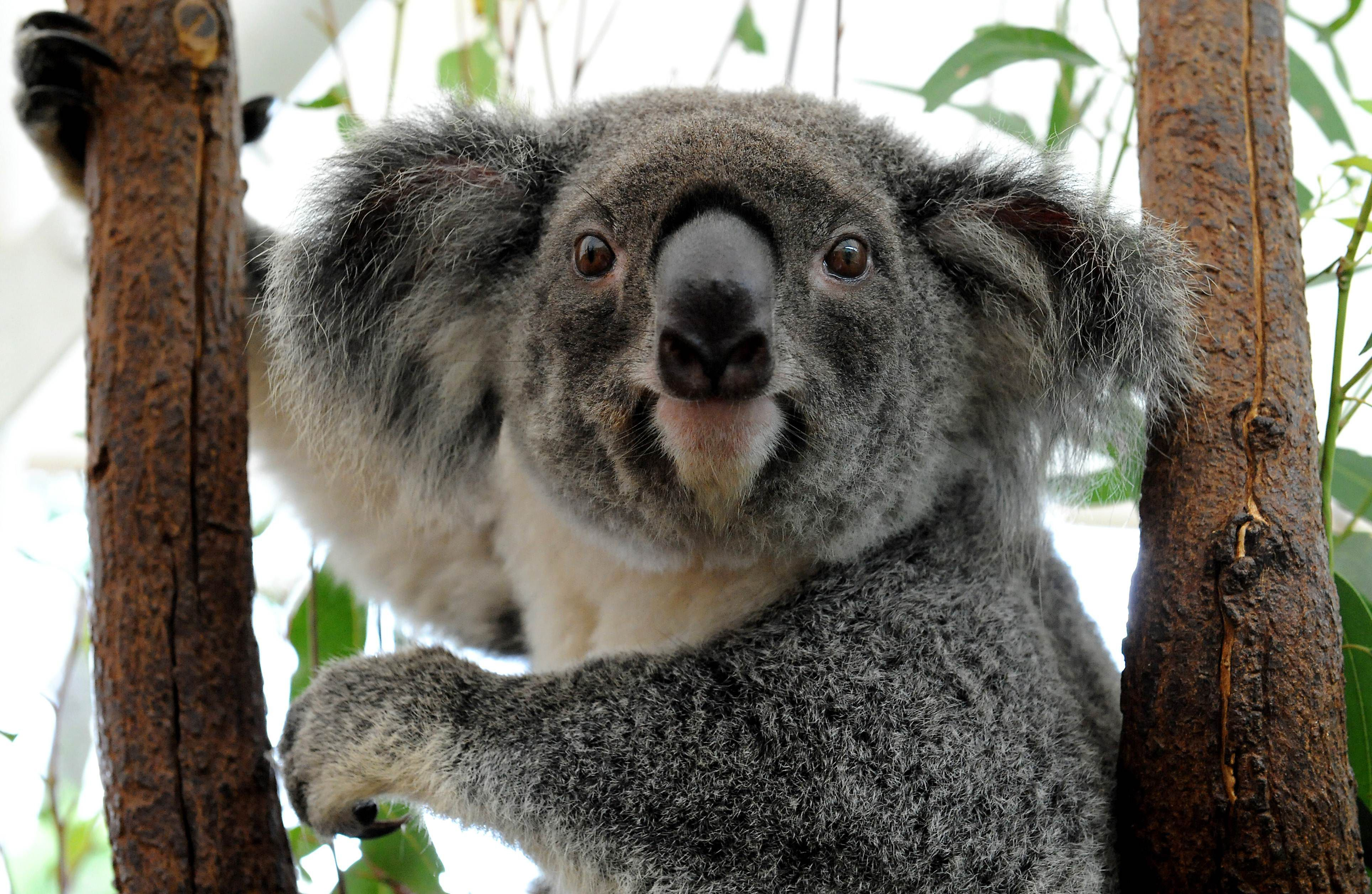 Koala High Quality Wallpapers