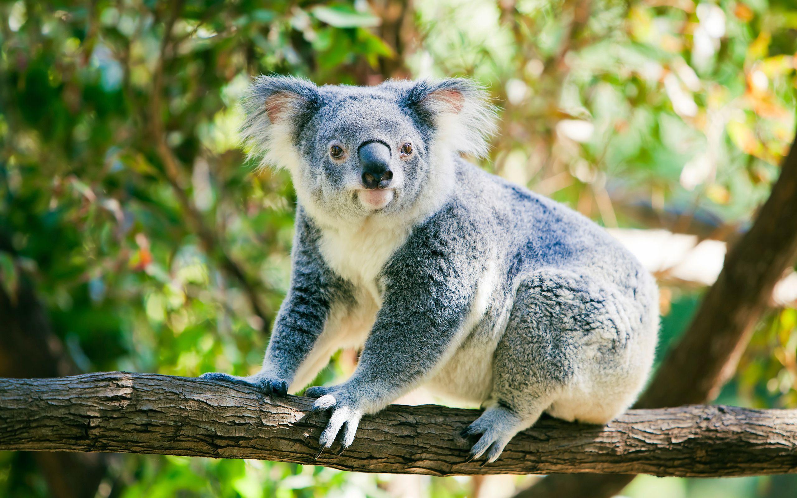 Koala Pics
