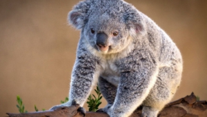 Koala Wallpaper For Computer