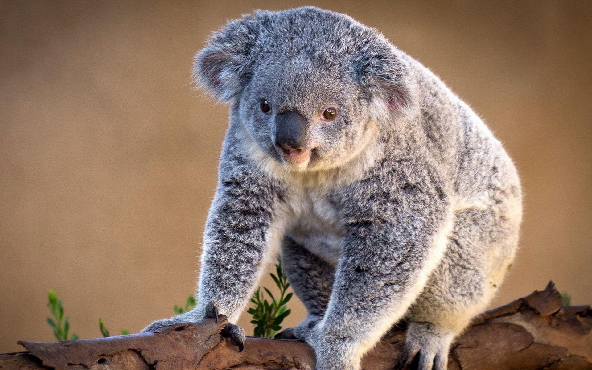 Koala Wallpaper For Computer