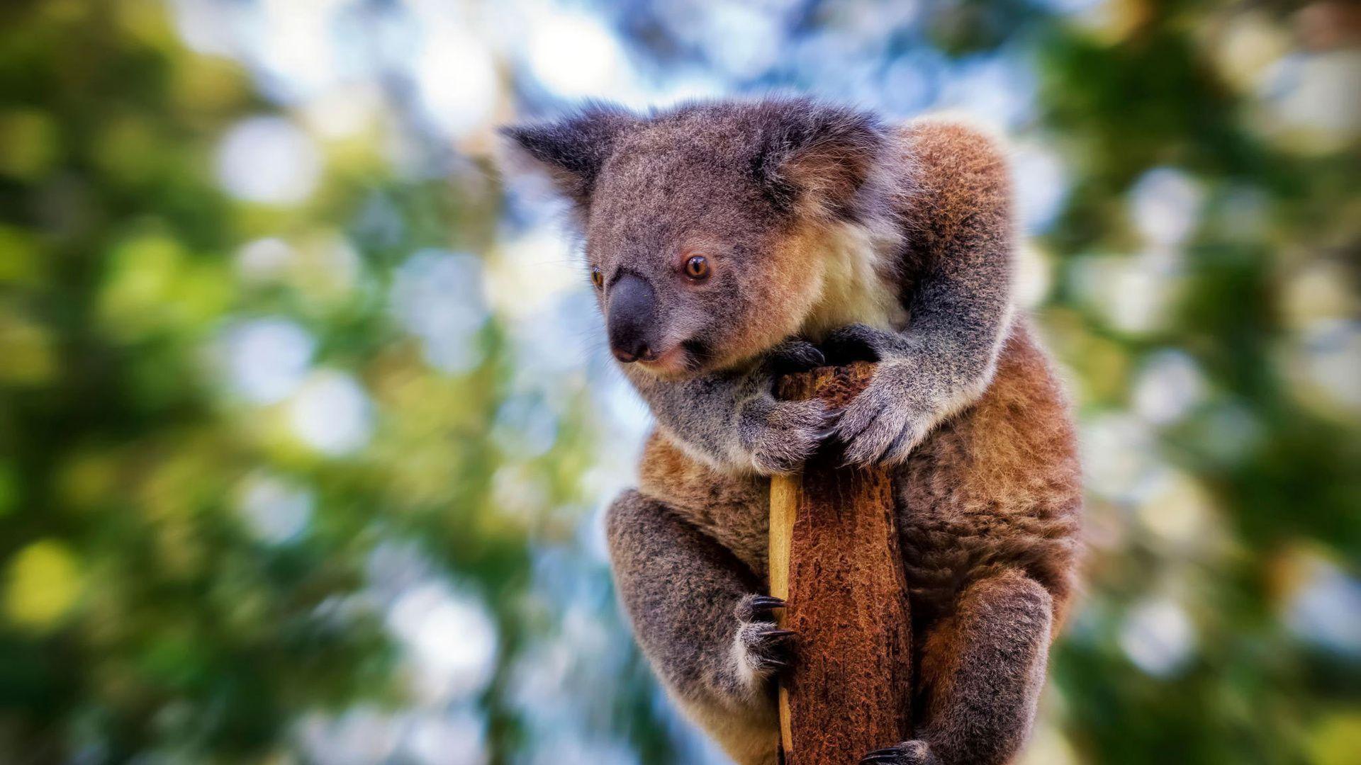 Koala Wallpaper For Laptop
