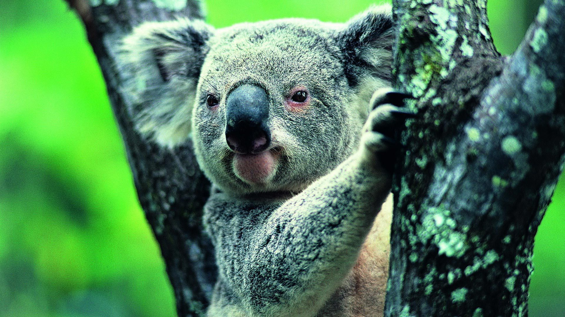 Koala Wallpapers Hd