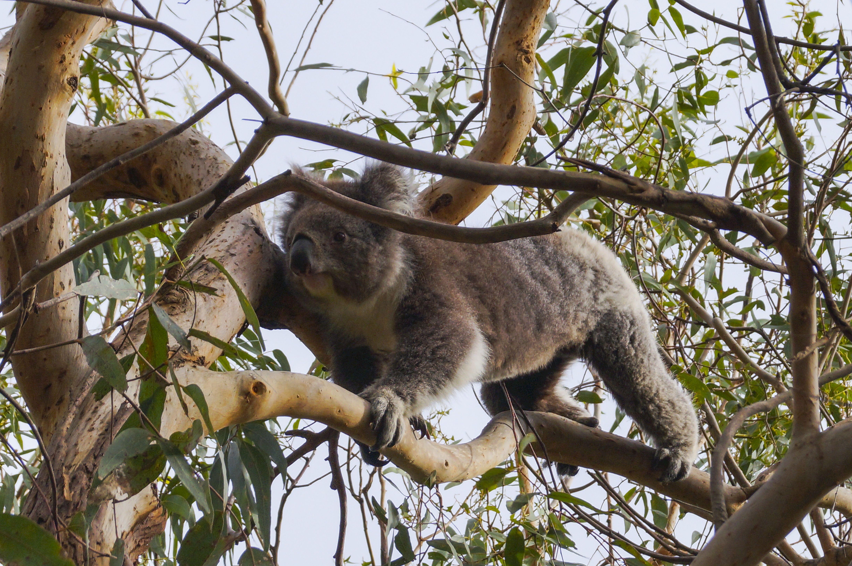 Koala Wallpapers Hq