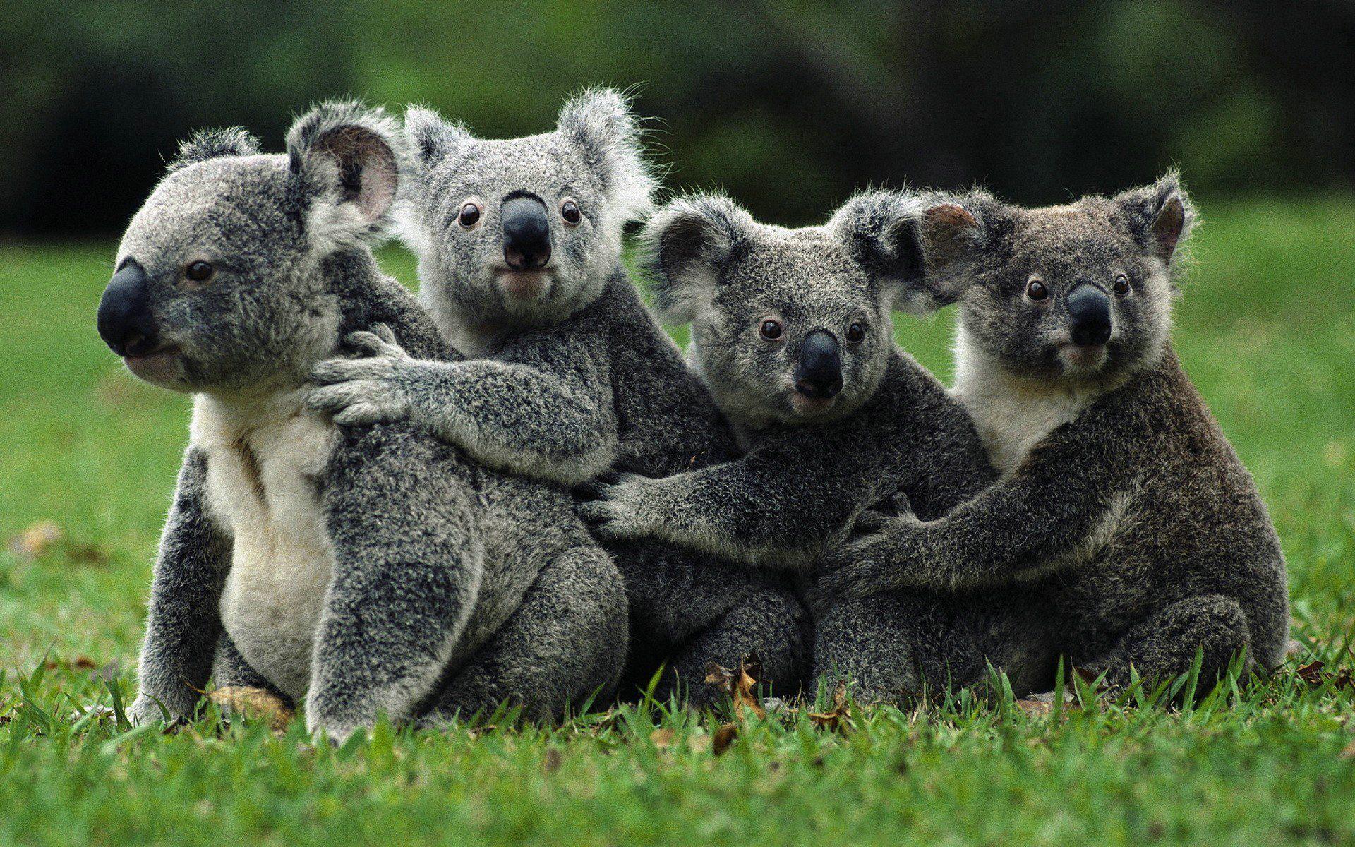Koala Wallpapers And Backgrounds