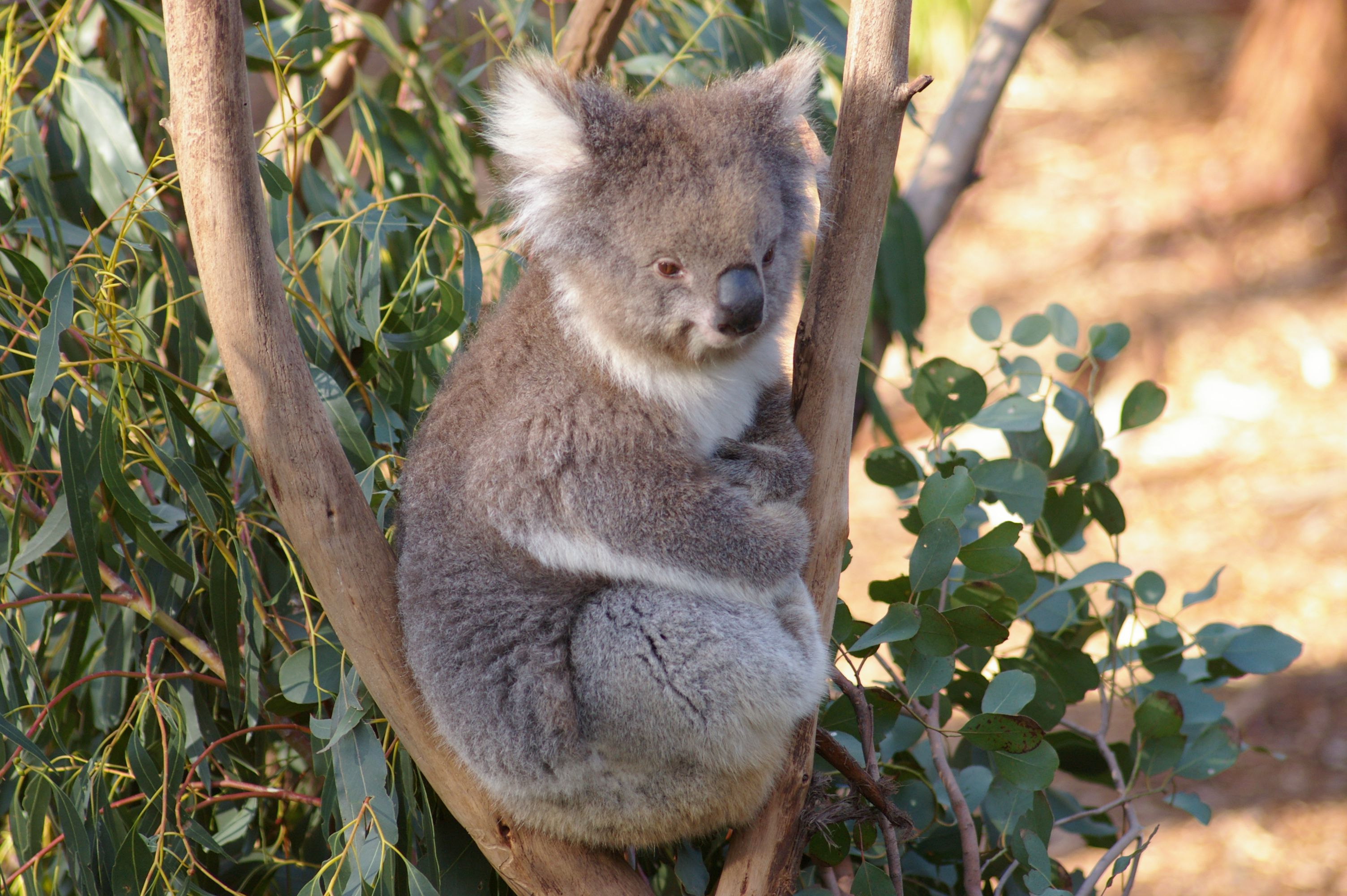Koala For Desktop Background