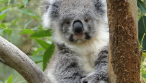 Koala Full Hd