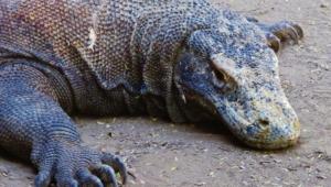 Komodo Dragon Background
