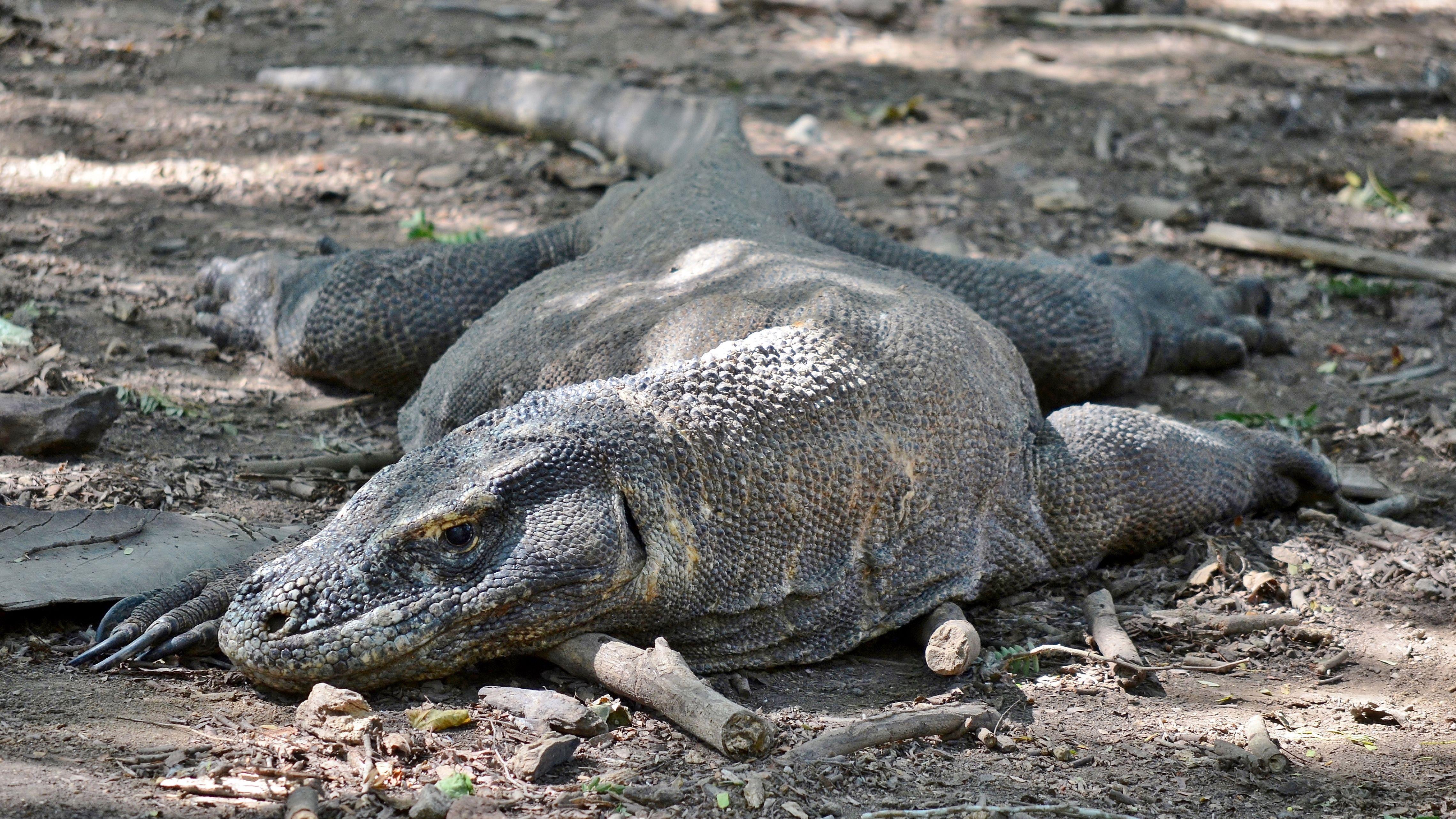 Komodo Dragon Desktop Images
