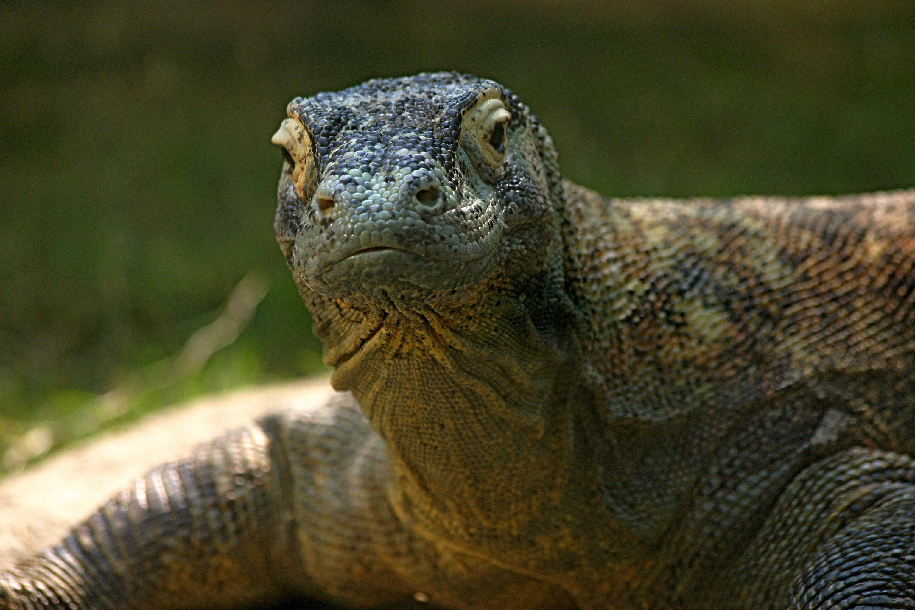 Komodo Dragon Download