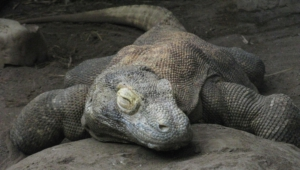 Komodo Dragon Hd Background