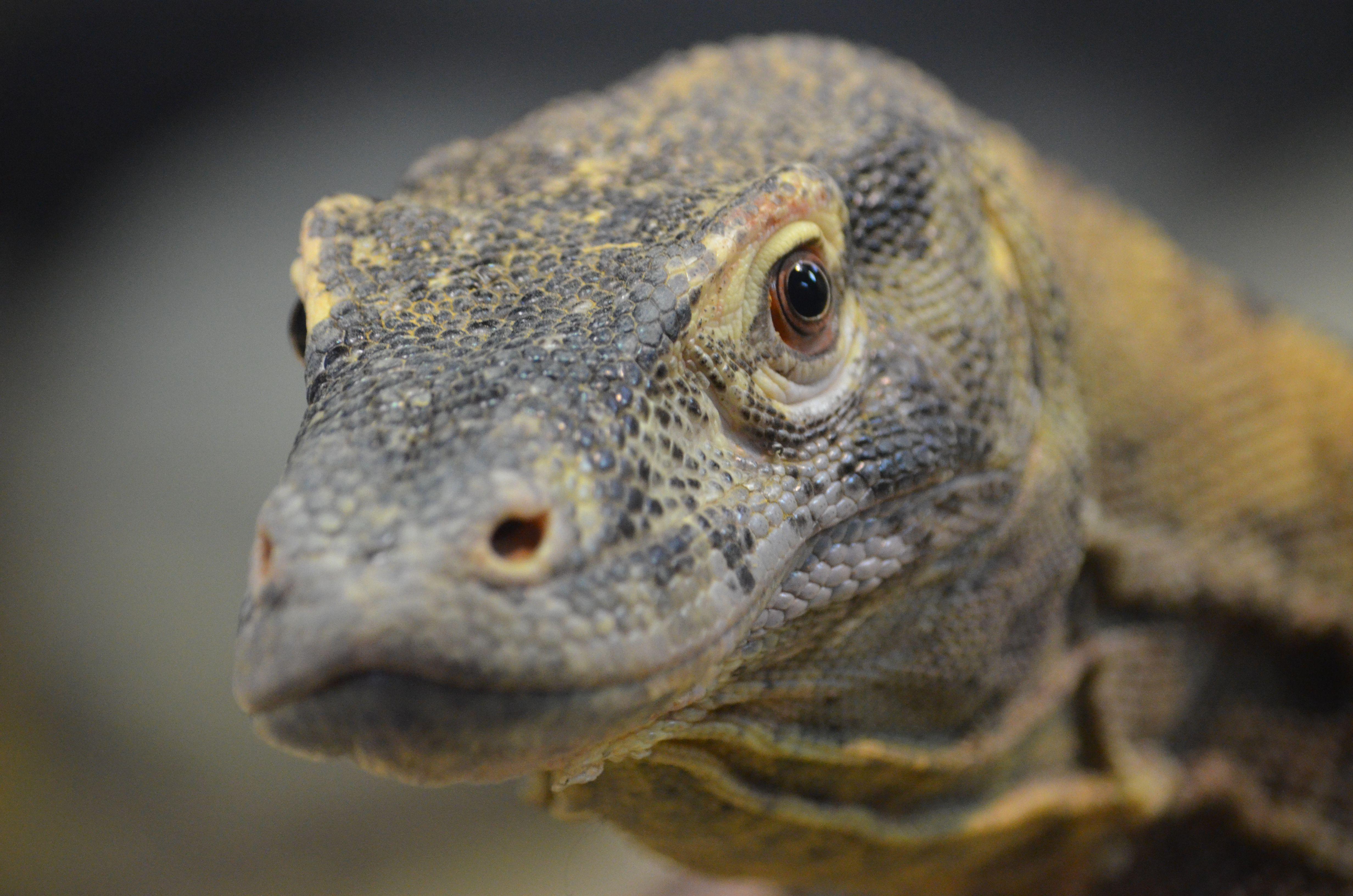 Komodo Dragon Hd