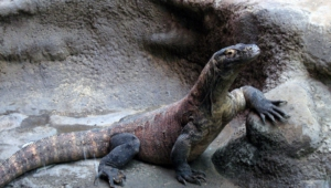 Komodo Dragon Hq