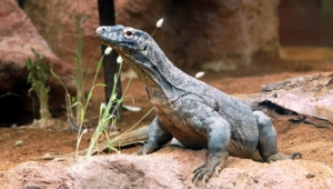 Komodo Dragon High Definition Wallpapers
