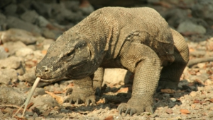 Komodo Dragon High Quality Wallpapers
