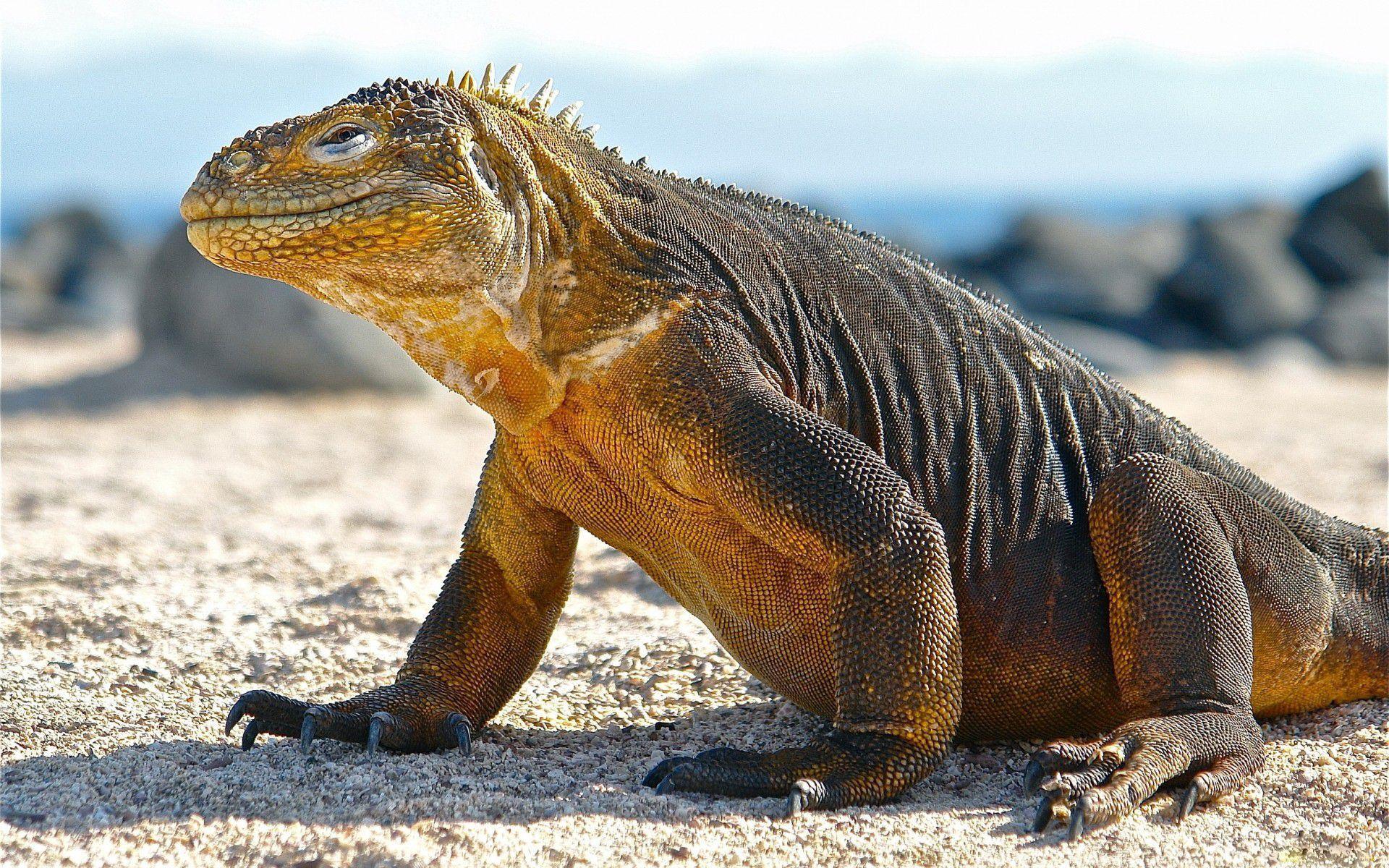 Komodo Dragon Images