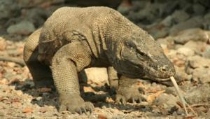 Komodo Dragon Photos