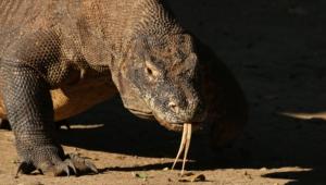 Komodo Dragon Pics