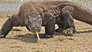 Komodo Dragon Wallpapers And Backgrounds
