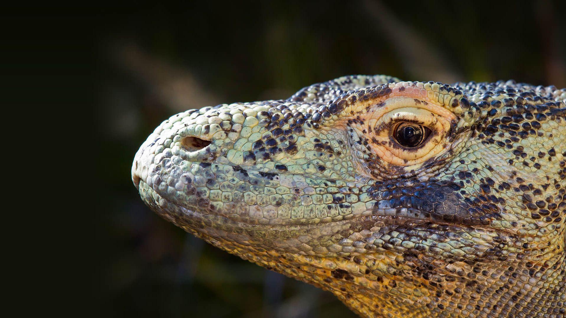 Komodo Dragon Widescreen