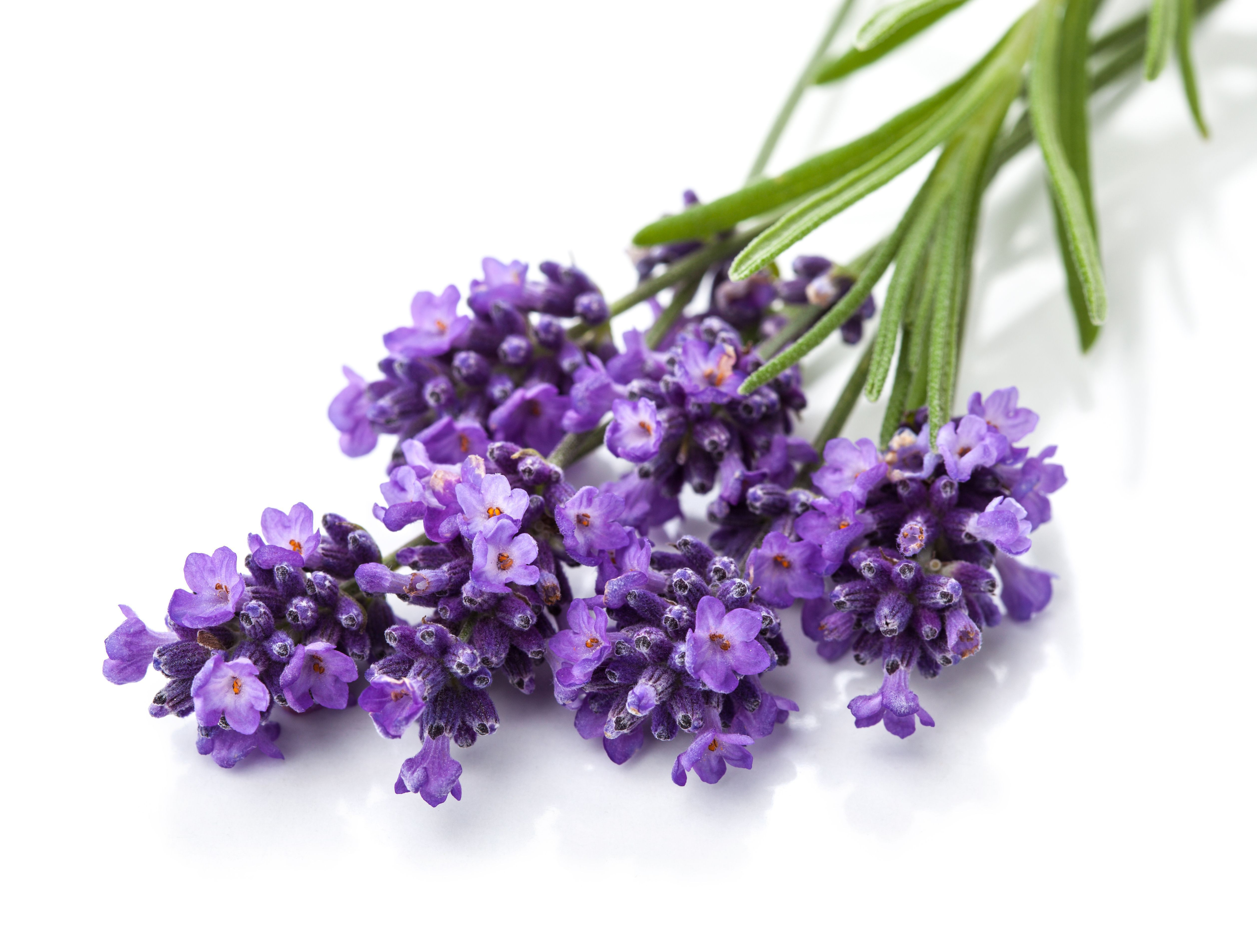 Lavender 4k