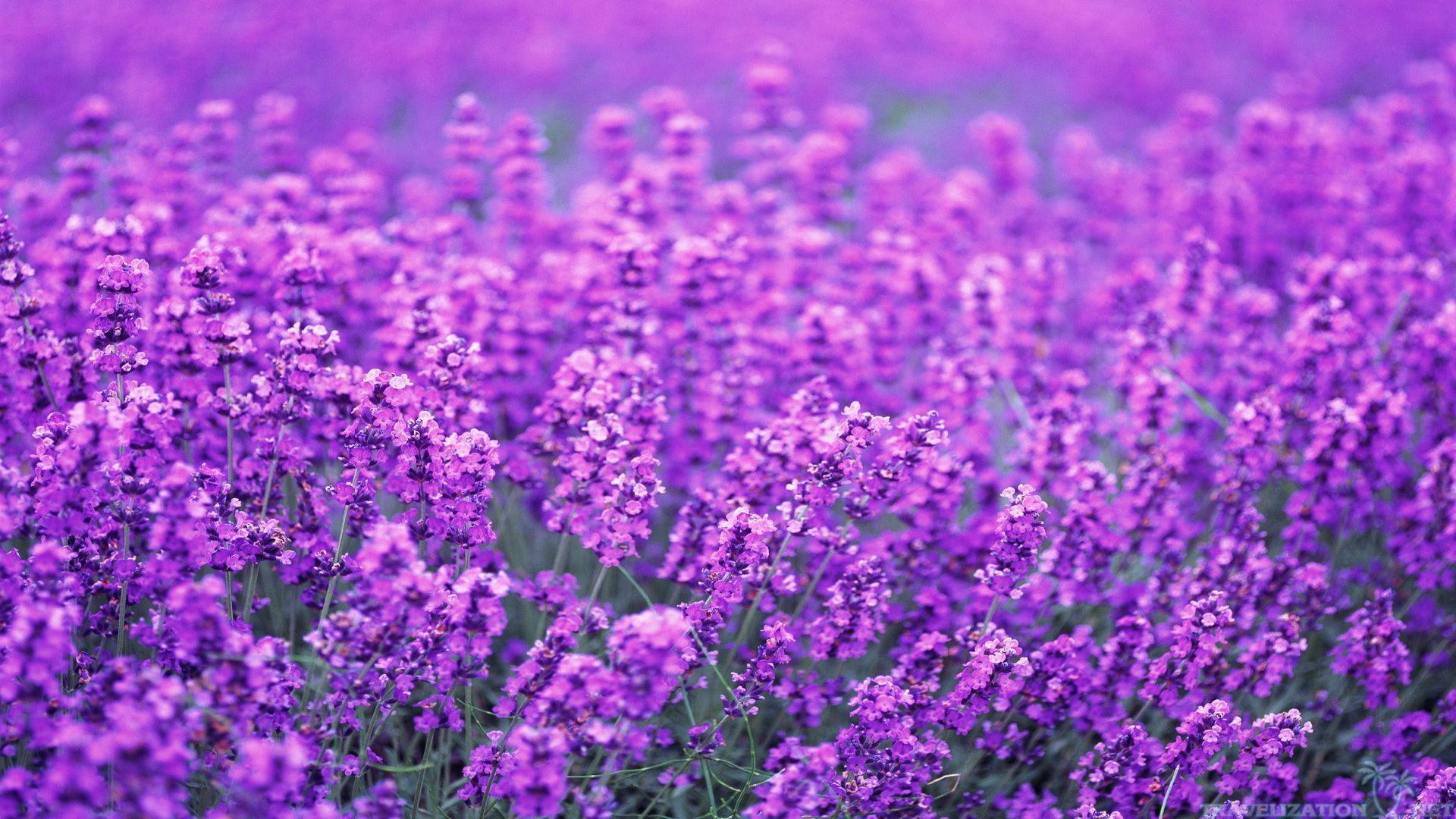 Lavender Desktop