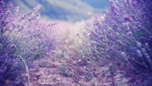 Lavender Download Free Backgrounds Hd