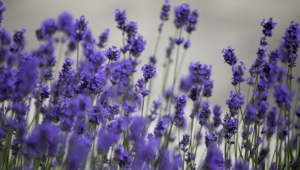 Lavender Hd Background