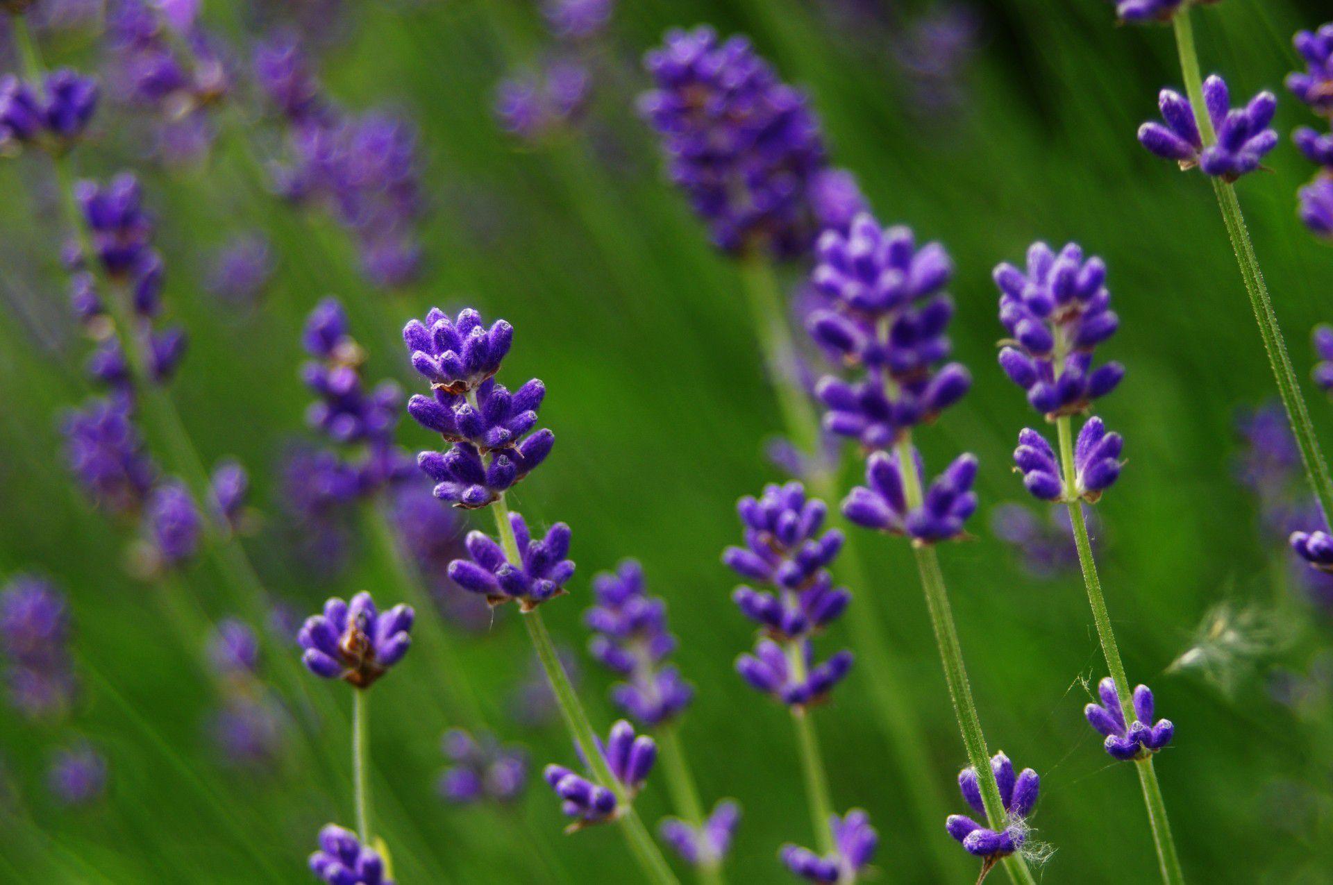 Lavender Hd Desktop