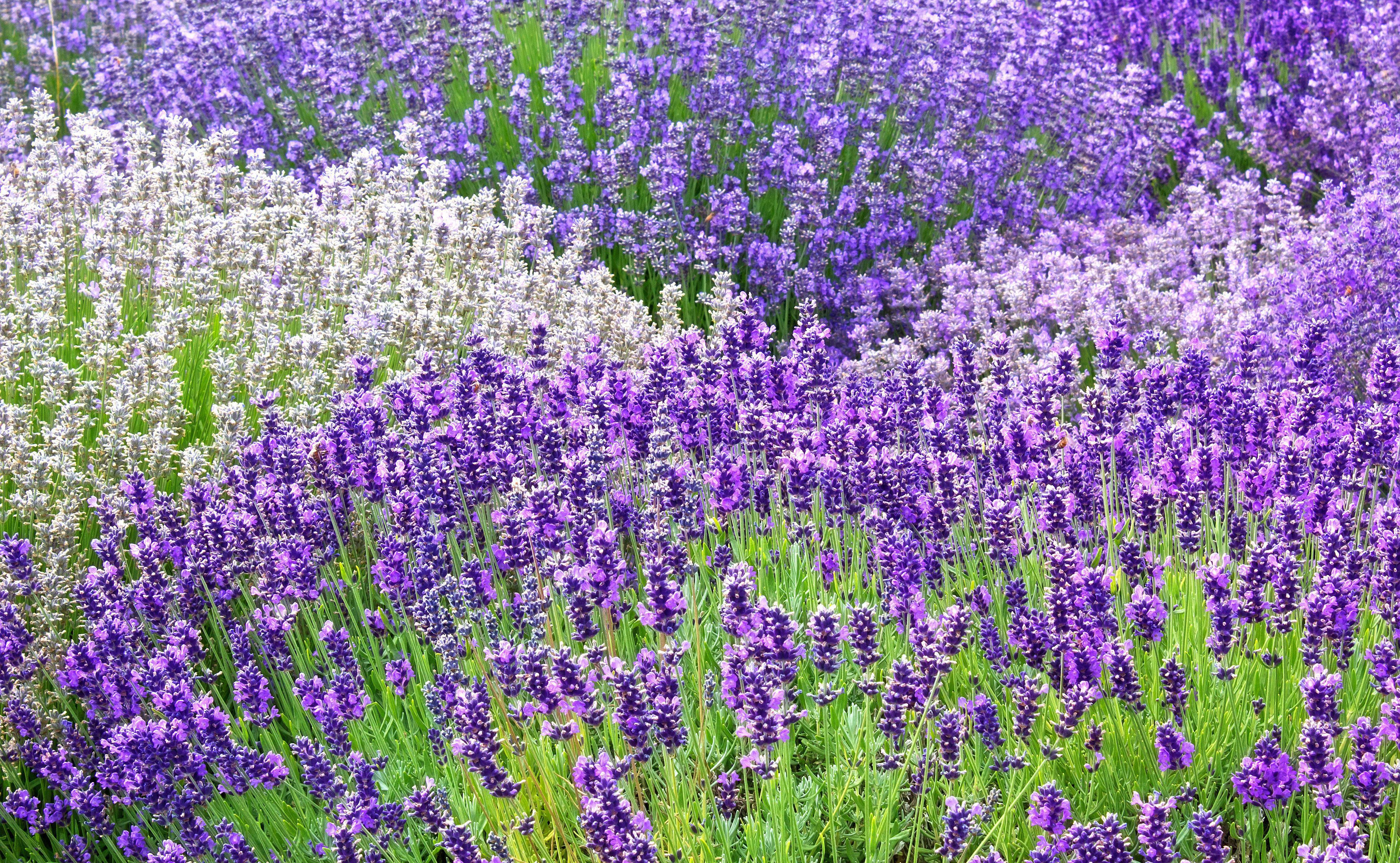 Lavender Hd
