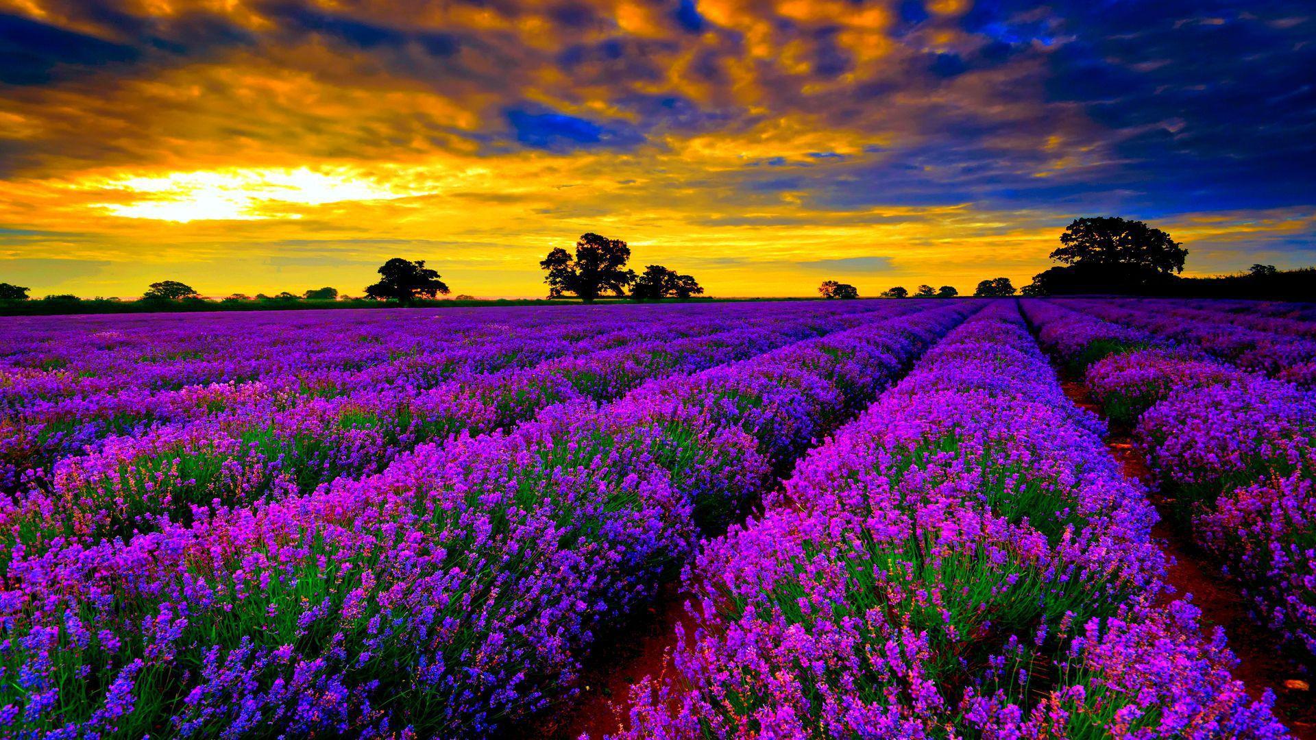 Lavender High Definition