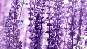 Lavender Images