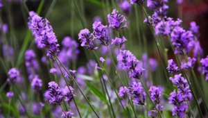 Lavender Wallpaper For Computer