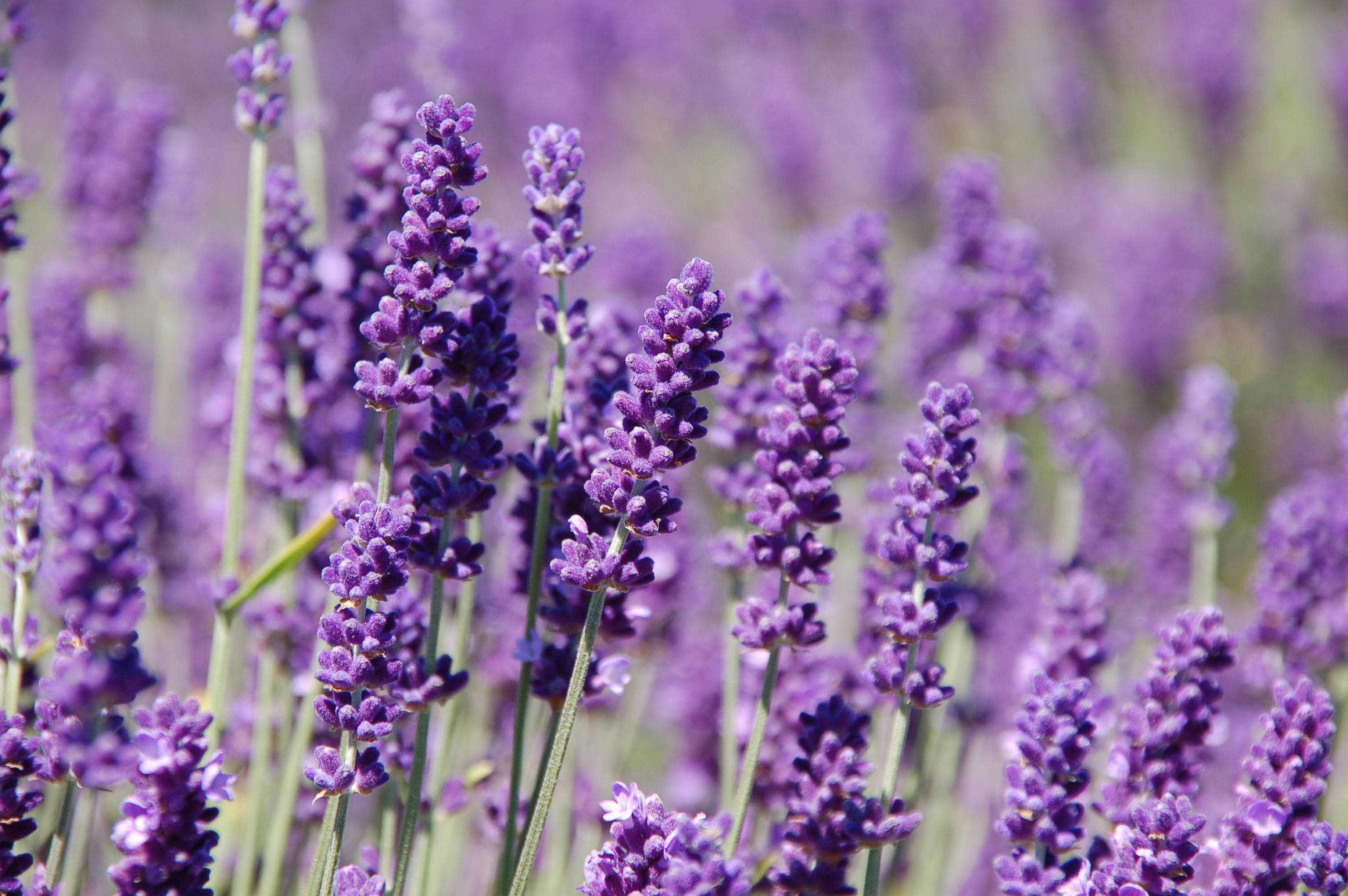 Lavender Wallpapers And Backgrounds