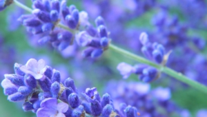 Lavender For Desktop
