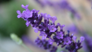 Lavender Full Hd