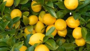 Lemon Computer Backgrounds